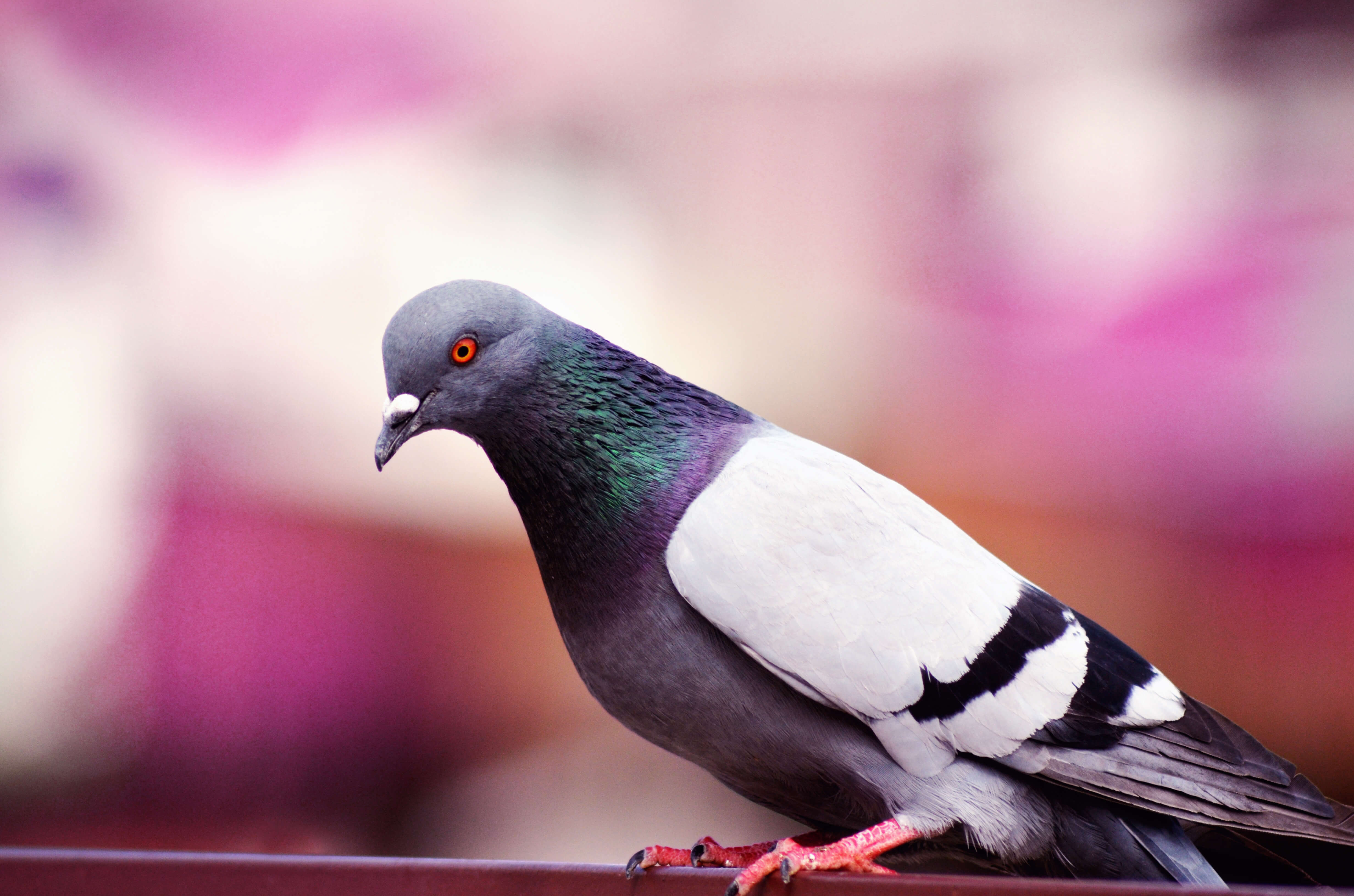 feral pigeons in Wolverhampton require our pest control Wolverhampton specialists