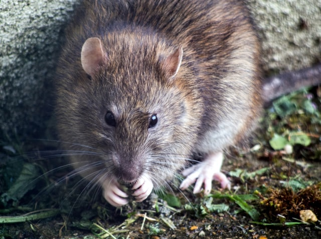 Rodent removal services carried out by our pest control Dudley team