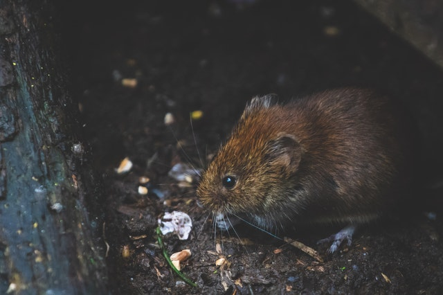Rodent infestation in Walsall - treated by our pest control walsall team