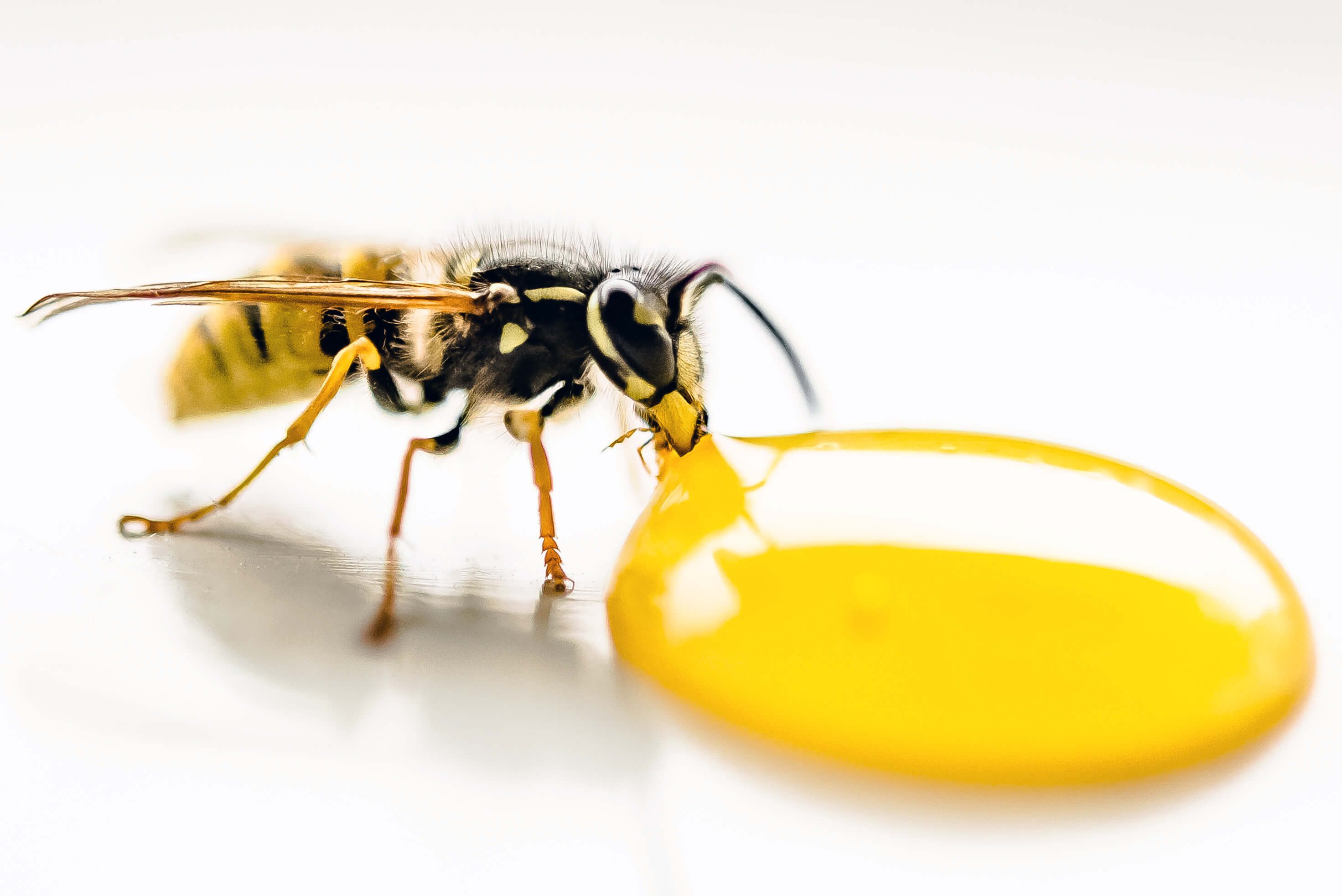 Wasp drinking syrup. a control treatment is required by our pest control Dudley team