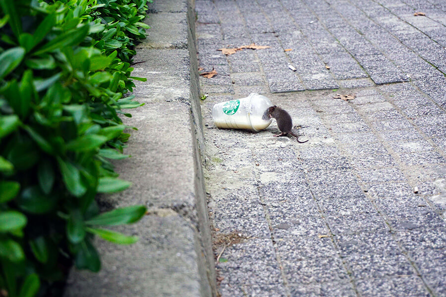 Mouse feeding from a cup on the street of Birmingham - pest control Birmingham required