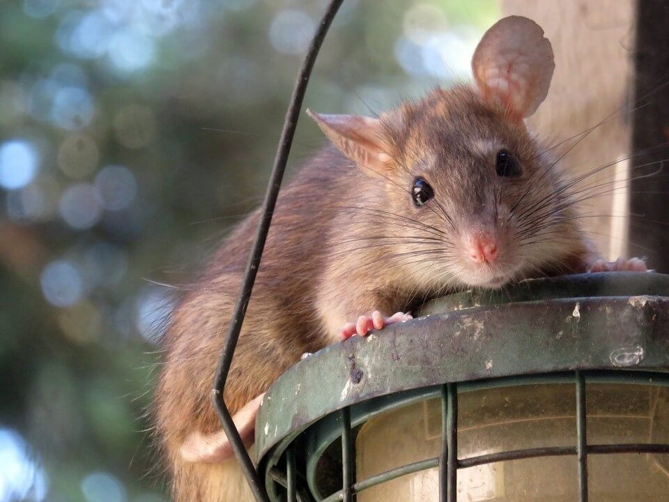 Rodent Removal Wolverhampton