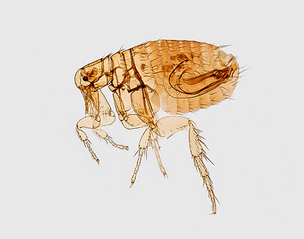 flea control - identify and remove fleas