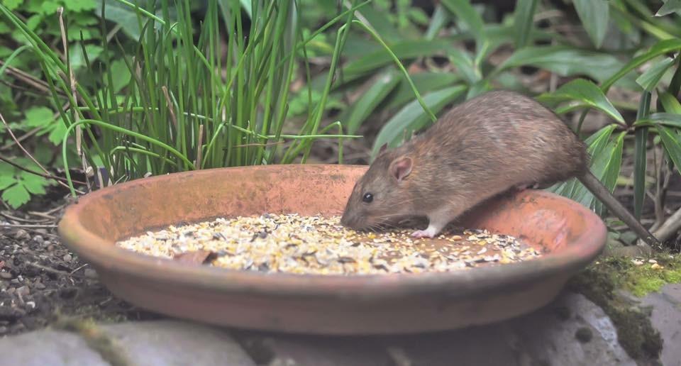 pest control birmingham - rodent control